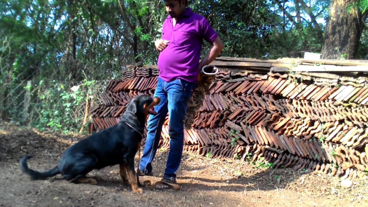 Rotweiler Attack Training K9 Dog Training Palakkad Contact