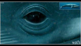 EL ANIMAL MAS GRANDE DEL MUNDO. La ballena azul
