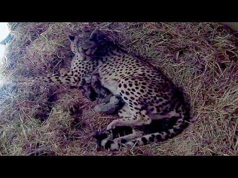 Naissance de 4 guépards à la Réserve africaine de Sigean