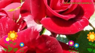 Роза флорибунда Никколо Поганини. Краткий обзор, описание характеристик Niccolo Paganini