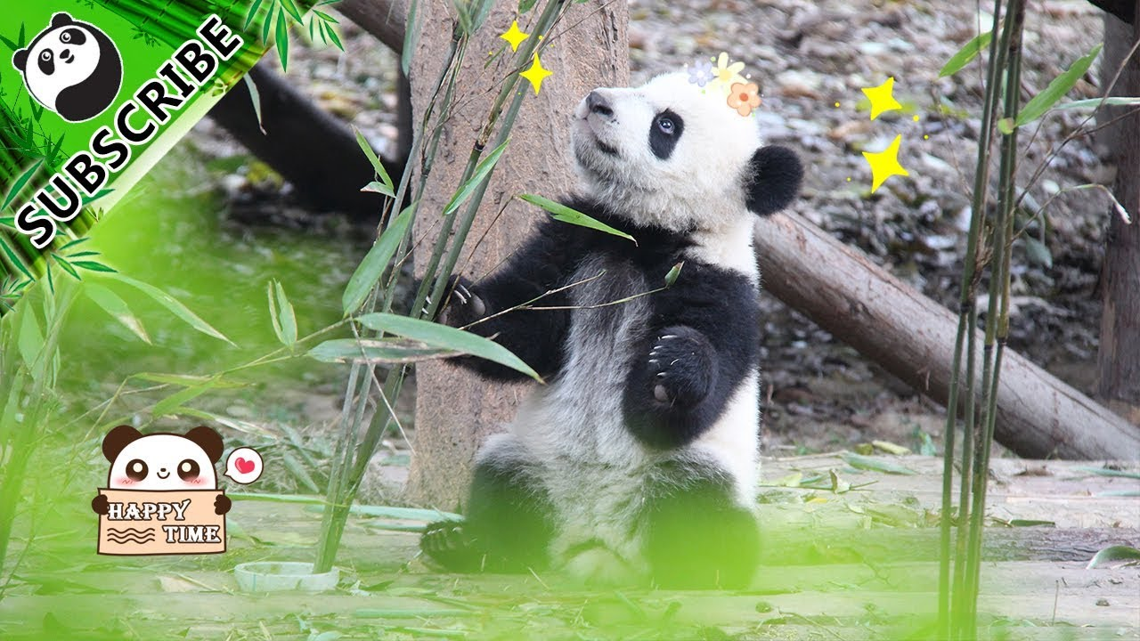 panda theme i heard someone calling me home for dinner ipanda [ 1280 x 720 Pixel ]