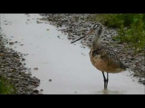 Hudsonian Godwit, Bowdoin National Wildlife Refuge, Malta, Montana, USA