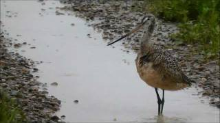 Hudsonian Godwit, Bowdoin National Wildlife Refuge, Malta, Montana, USA