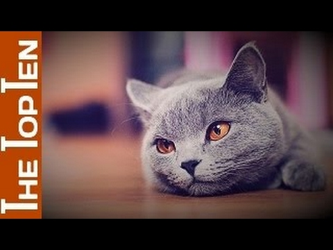 The Top Ten Most Beautiful Cat Breeds in The World
