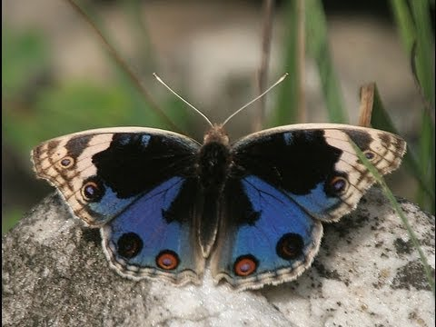 Blue Pansy (Junonia orithya) butterfly mating dance