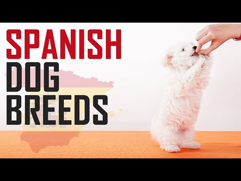 10 Most Popular Spanish Dog Breeds | Petmoo