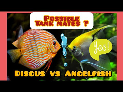 How To Keep Angelfish And Discus Together / Discus Compatibility Tank Mates