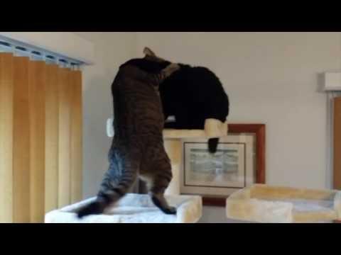 FUNNY CATS FIGHT OVER NEW TREE: Cute Kitties Kwazi & Uli