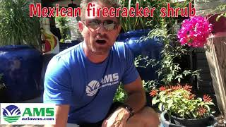 Add Some Mexican Firecracker Shrubs For Your Lawn In Phoenix