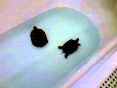 Turtles Swimming In A Bathtub Youtube