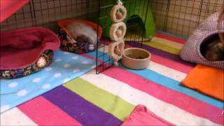 HOW TO: Pick up Your Guinea Pigs Quickly and Easily!
