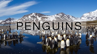Thousands of penguins on South Georgia island thumbnail