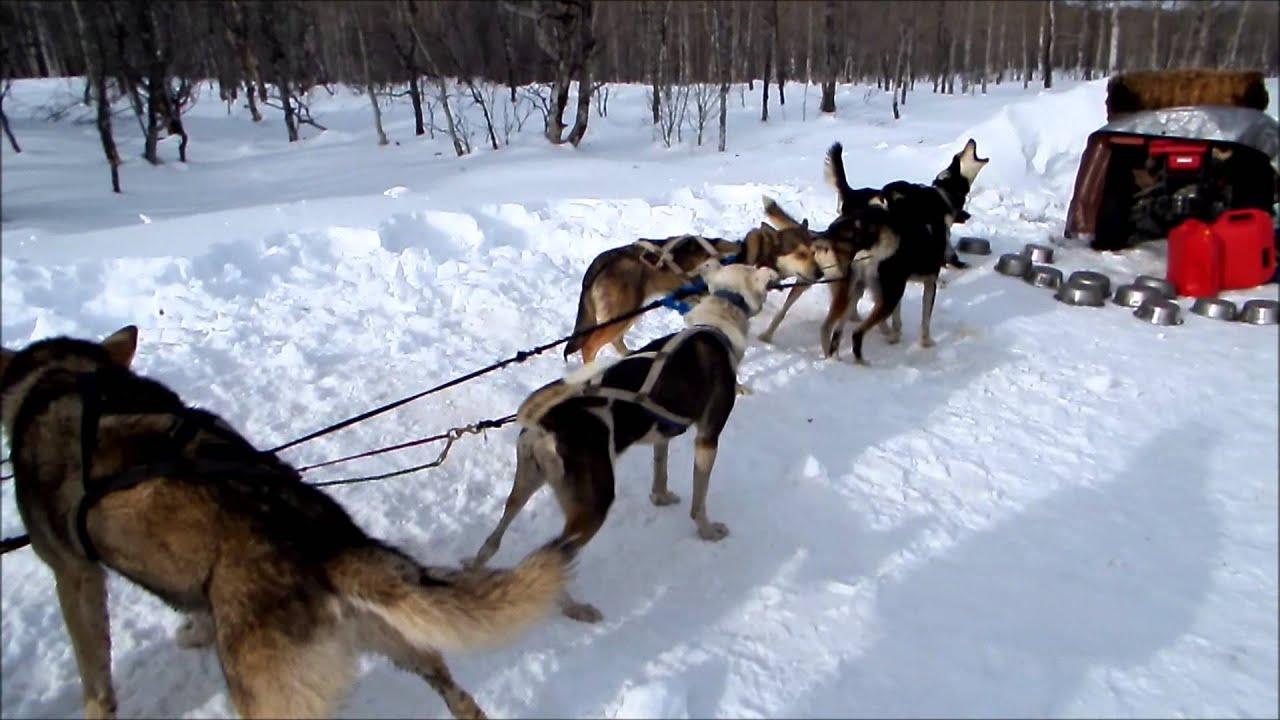 dog sledding video - 1280×640
