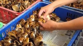 bán gà con giống tại gia lai. đt: 0979743658