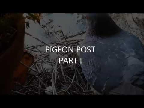 Pigeon post baby pigeon