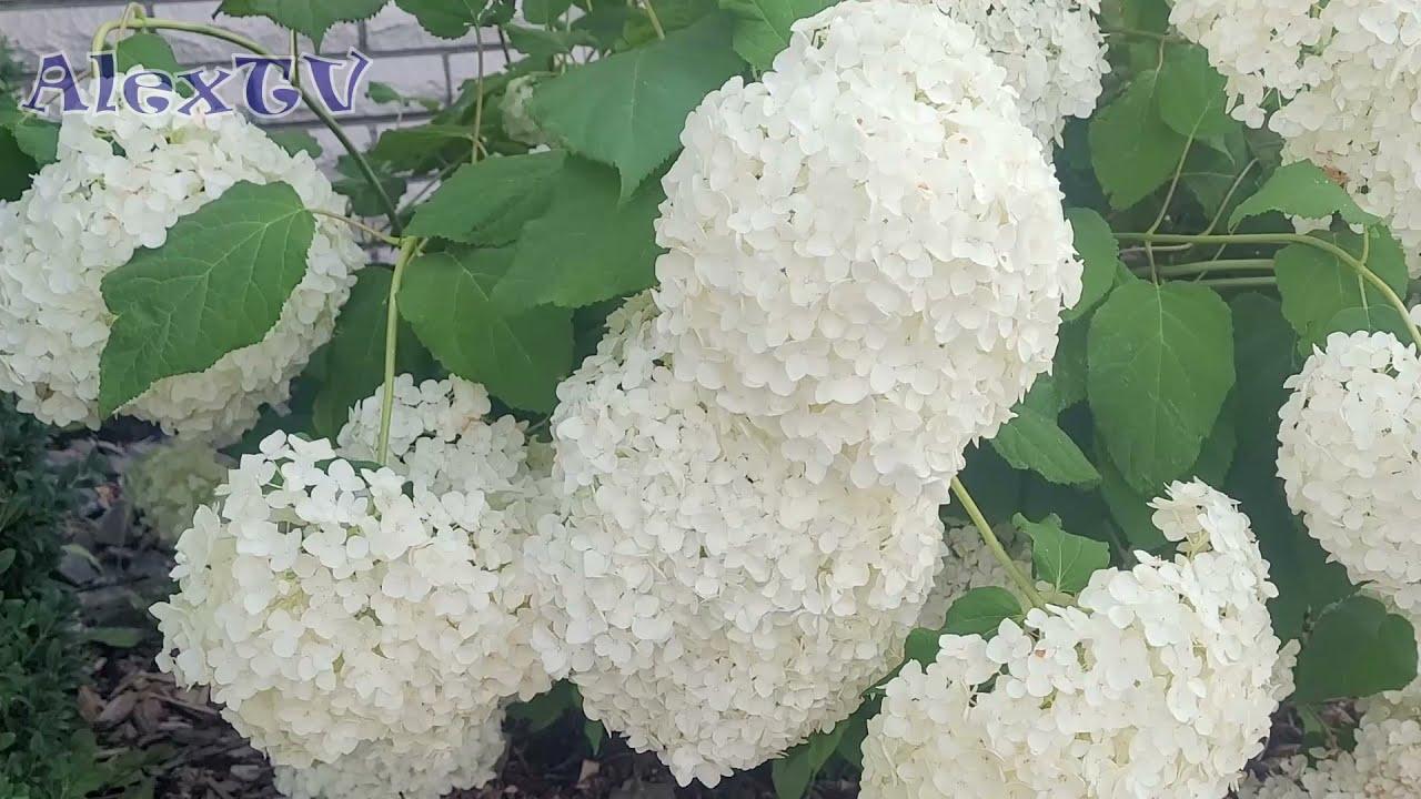 Pflegeleichte blühende winterharte Pflanzen.Hortensien weiß.Ansicht