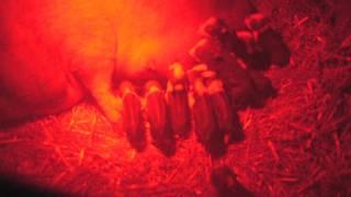 Newborn Potbellied Piglets