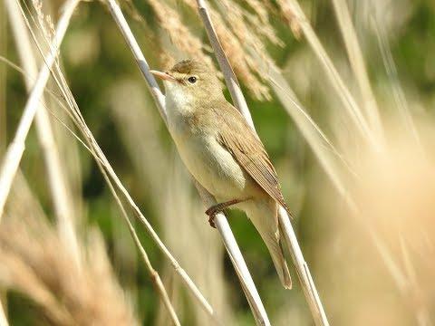 Marsh Warbler singing Bowesfield Marsh on 19/06/2017