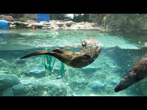 Swiming North American river otters