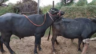 Super mast meeting buffalo try by village letest Rajasthani animal HD video
