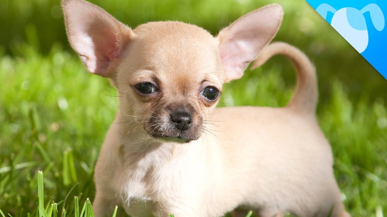 Deer Head Chihuahua An Overview Of This Lovable Breed