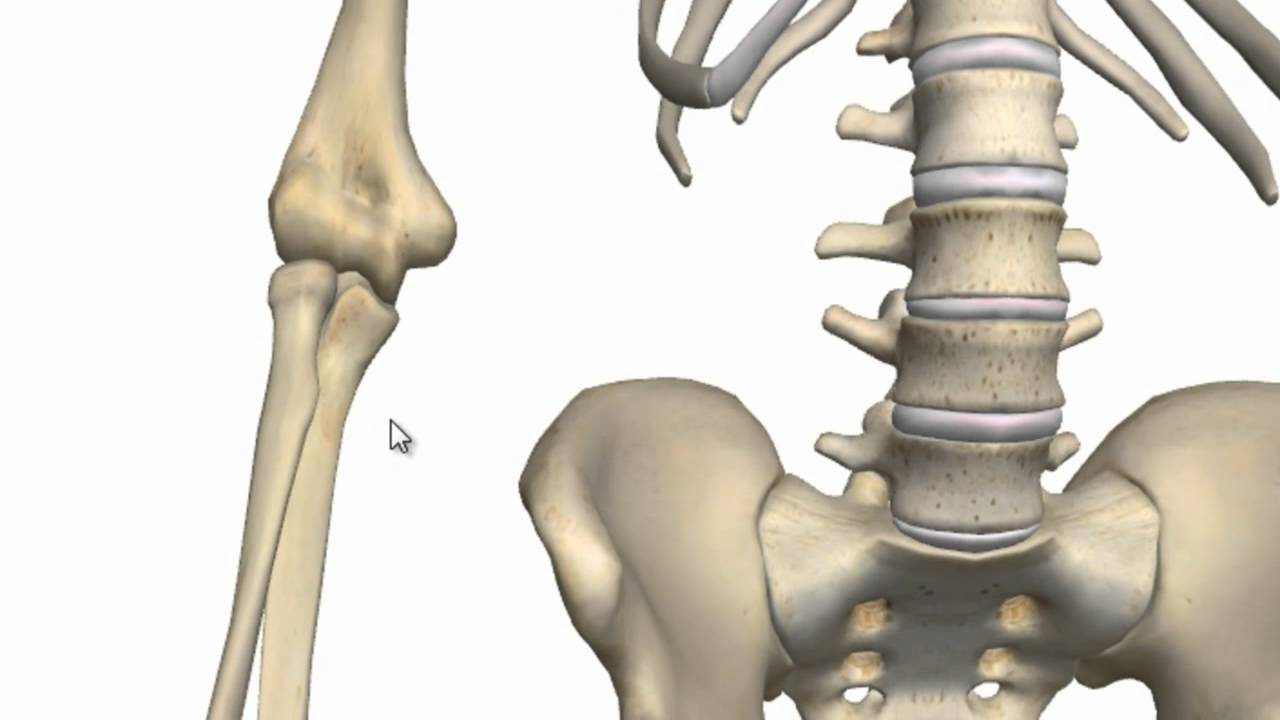 Elbow Joint - 3D Anatomy Tutorial - YouTube