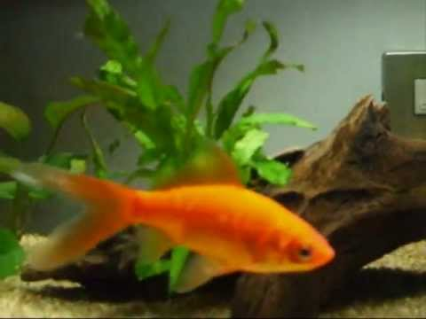 Acquario pesci rossi youtube for Dove comprare pesci rossi