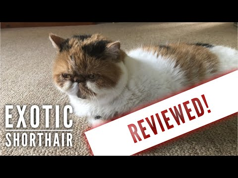 Exotic Shorthair Cat Review after 5 years