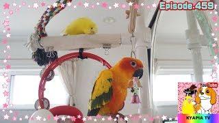 夢の共演 セキセイインコ・コガネメキシコインコ459 parakeet budgie  sun conure thumbnail