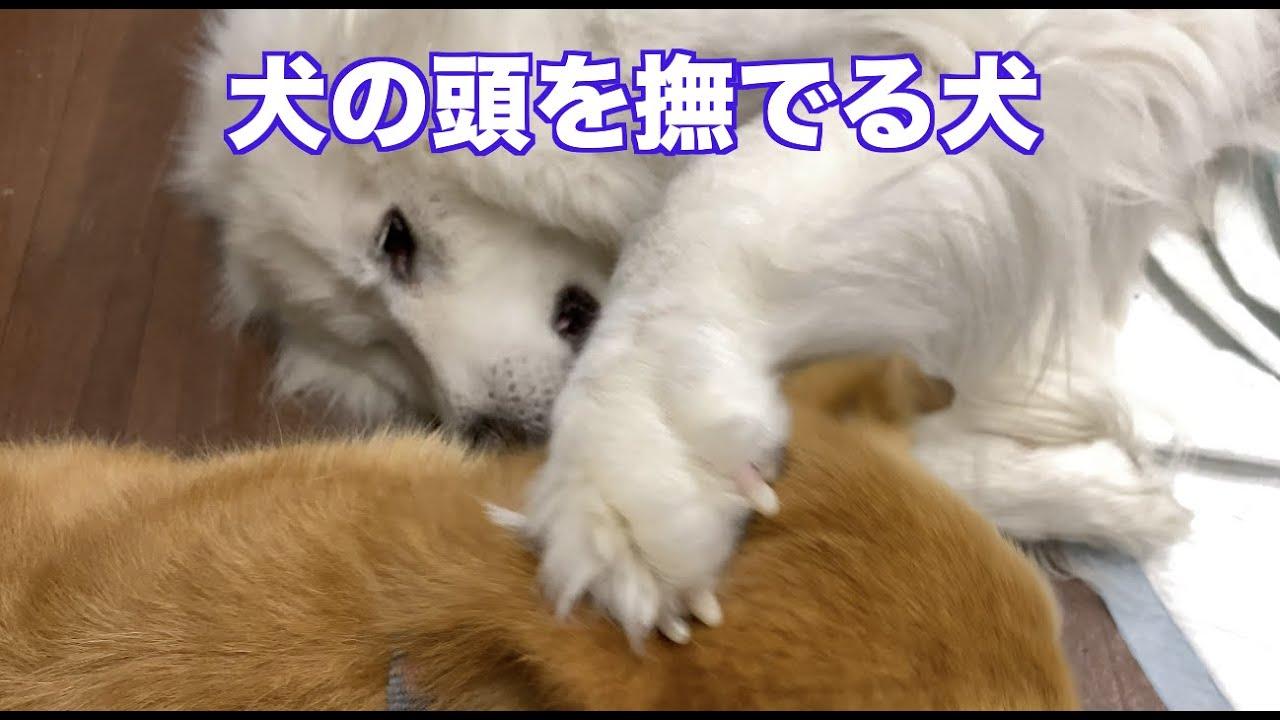 さくらに撫でられるコロ太 グレートピレニーズ MIX犬