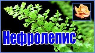 Самый древний цветок. Нефролепис. Комнатные растения.🌿