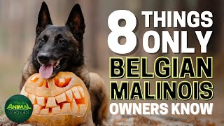 8 Things Only Belgian Malinois Dog Owners Understand