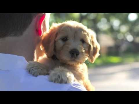 Lonestar Doodles | Texas GoldenDoodle Puppies | Premier Breeder