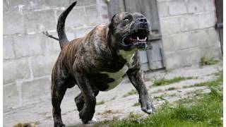 Perros más Peligrosos .Top10 Biggest Guard Dogs in the World  Caucasia, Kangal,Rotweiler,Pitbull
