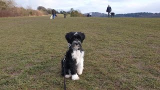 Albus the Tibetan Terrier Puppy - 3 Weeks Residential Dog Training