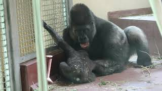Philly Zoo Gorilla Dad wrestles with his little son.