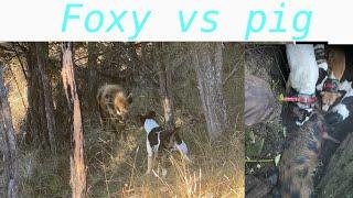 Fox Terrier Vs Wild Pig/120 pounder/ Pig Hunting New Zealand