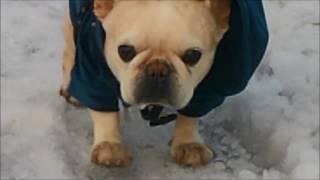 フレブルの老犬タロウ12歳の時です。 2016.03.16 Facebook:...