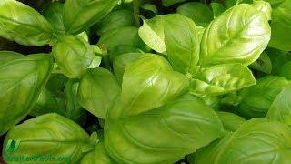 Je hydroponicky pěstovaná bazalka stejně zdravá jako běžná?
