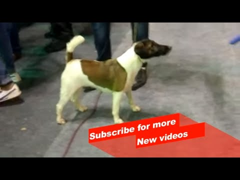 Wow ! Most Amazing dog breeds worldwide | Jack Russell Terrier  |