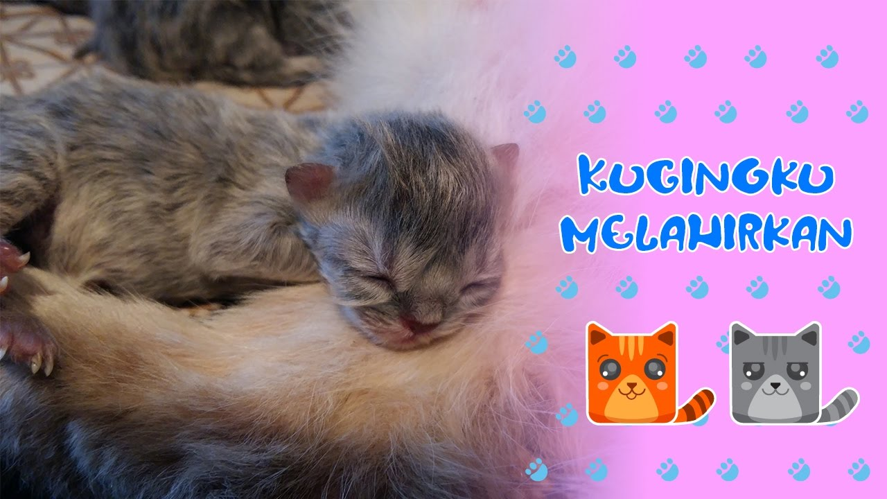 Download 97+  Gambar Anakan Kucing Anggora Baru Lahir Paling Keren Gratis