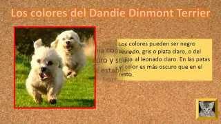 Dandie Dinmont Terrier  Cachorros ,  Colores Del Dandie Dinmont Terrier