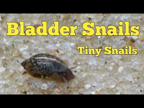 Bladder Snails The Smallest Snail