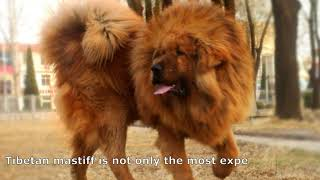 Tibetan Mastiff is the most expensive breed of dog