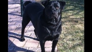 Capone My Awesome Dog!  Part Black Lab And Part Rottweiler!