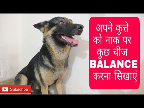 How to train a dog to balance any object/treat on their nose | Dog training | Doggies squad