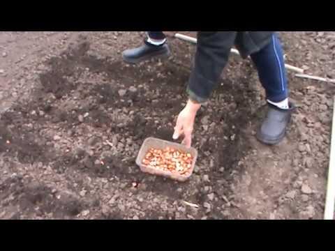 Когда и как сажать лук севок.Апрель2017.Тещин метод. советы как правыльно посадить лук севок