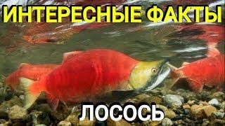 Лосось - все о лососевых, описание, распространение, нерест и способ ловли