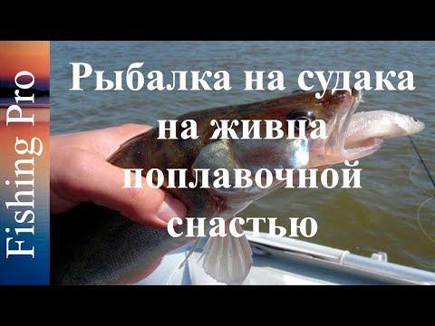 Рыбалка на судака на живца поплавочной снастью