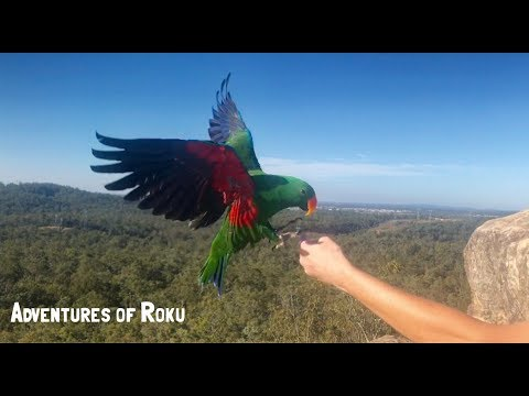 Eclectus & Major Mitchell Parrot Free Flying